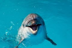 Dolphin portrait while looking at you with open mouth. Marine life royalty free stock photography