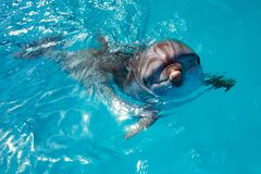 Dolphin portrait while looking at you with open mouth. Marine life royalty free stock photo
