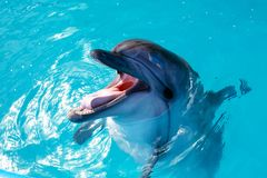Dolphin portrait while looking at you with open mouth. Marine life royalty free stock photos