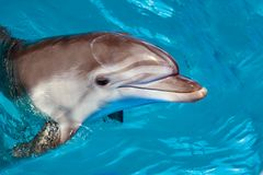 Dolphin portrait while looking at you with open mouth. Marine life stock photography