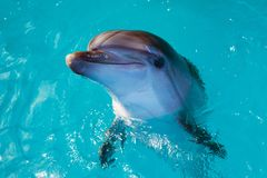 Dolphin portrait while looking at you with open mouth. Marine life royalty free stock image