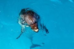 Dolphin portrait while looking at you with open mouth. Marine life stock image