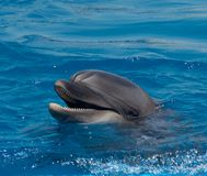 Dolphin portrait with open mouth royalty free stock photo