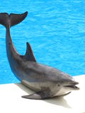 Dolphin Pose. A Bottle nose Dolphin posing for the crowd Stock Photo
