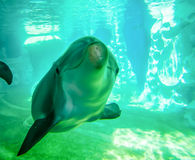 Dolphin posing for camera  underwater Royalty Free Stock Photography