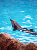 Dolphin posing in a pool Stock Image