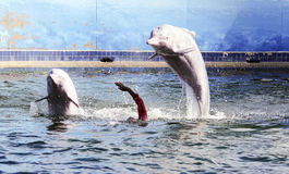 Dolphin. Puppet Show,intelligent Stock Images