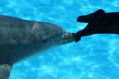 Dolphin Pushing Diver Feet Royalty Free Stock Image