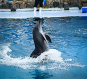 Dolphins on creative entertaining show. A dolphin is ready to impress the audience with a specular show in Bangkok, Thailand Royalty Free Stock Images