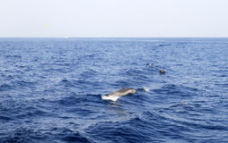 Dolphin in Red Sea. Dolphin jumping from the Red Sea in Egypt Stock Image