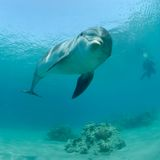 Dolphin in red sea. Israel Eilat Stock Photo