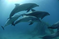 Dolphin in red sea. Israel Eilat Royalty Free Stock Photo