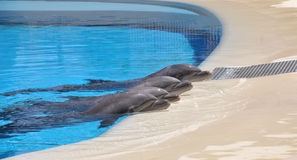 Dolphin Rest royalty free stock image