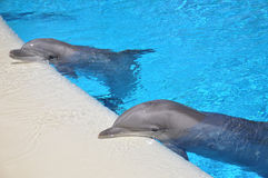 Dolphin Rest Two. Two dolphins resting against the edge of a pool Stock Image