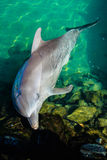 Dolphin Resting In A Pool. A baby dolphin seems to pose to the tourists at the Sea World Australia in the City of Gold Coast, Queensland royalty free stock images