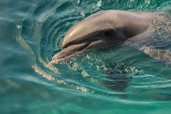 Dolphin rests on the surface of the water. Red Sea Dolphin, Gulf of Eilat, Israel Stock Photography