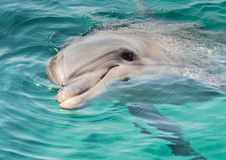 Dolphin rests on the surface of the water. Red Sea Dolphin, Gulf of Eilat, Israel Stock Image