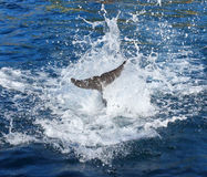 Dolphin`s tail. Dolphin`s tail in water splash. Marine life background royalty free stock photography