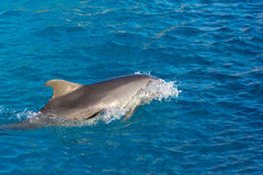 Dolphin at sea Stock Photography