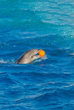 Dolphin at sea Royalty Free Stock Photography
