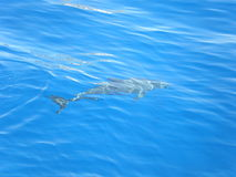 Dolphin. Sea fish dolphin underwater water blue water clear travel view nature Stock Photography