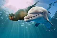 Dolphin and sea lion underwater Stock Photo