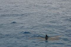 Dolphin in the sea Stock Images
