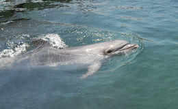 Dolphin in the sea. Russia, Black Sea stock photos