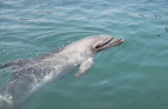 Dolphin in the sea Stock Image
