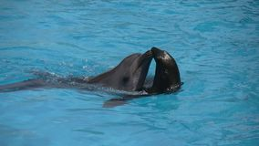 Dolphin and seal. In dolphinarium stock video footage