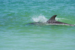 Dolphin in shallow water. Pass-a-grille florida dolphins are always around and have a good time Royalty Free Stock Images