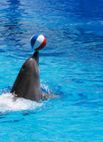 Dolphin show. Trained dolphin playing with a ball in the aquarium at a dolphin show in an aquatic amusement park Royalty Free Stock Image