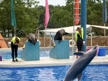 Dolphin Show. This is a shot of some sea lions and an airborne dolphin at a theme park show stock image
