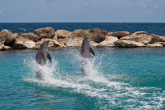 Dolphin Show. A Dolphin show at the Dolphin Acacemy of Curacao (Netherlands Antilles Royalty Free Stock Photos