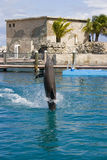 Dolphin show. Dolphin swimming backwards during dolphin show royalty free stock photography