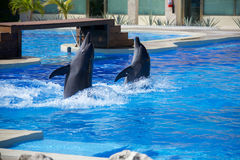 Dolphin show Royalty Free Stock Images
