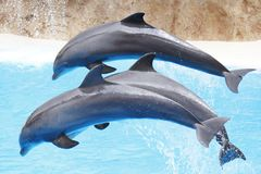 Dolphin show. Dolphin dancing during dolphins show Stock Photos