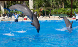 Dolphin show at Dolphinaris. TULUM, MEXICO: DECEMBER 2, 2016: Dolphins performing during a dolphin show with their trainers at Dolphinaris Tulum at Bahia stock photography