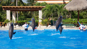 Dolphin show at Dolphinaris. TULUM, MEXICO: DECEMBER 2, 2016: Dolphins performing during a dolphin show with their trainers at Dolphinaris Tulum at Bahia royalty free stock images