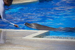 Dolphin show at Dolphinaris. TULUM, MEXICO: DECEMBER 2, 2016: Dolphins performing during a dolphin show with their trainers at Dolphinaris Tulum at Bahia stock images