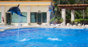 Dolphin show at Dolphinaris. TULUM, MEXICO: DECEMBER 2, 2016: Dolphins performing during a dolphin show with their trainers at Dolphinaris Tulum at Bahia royalty free stock photo