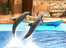 Dolphin show. These dolphins are at Ushaka Aquarium in Durban.They take part in a show every day Royalty Free Stock Image