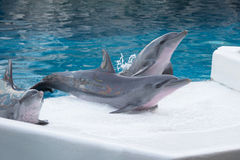Dolphin show. Stock Images