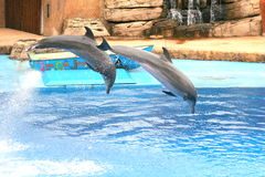 Dolphin show Duban. These dolphins are at Ushaka Aquarium in Durban.They take part in a show every day Stock Photos