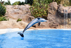Dolphin show in Loro Park Royalty Free Stock Photography