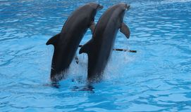 Dolphin show in Loro Parque Stock Photography