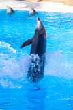 Dolphin show Royalty Free Stock Image