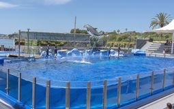 Jumping dolphins in blue pool at Marineland stock image