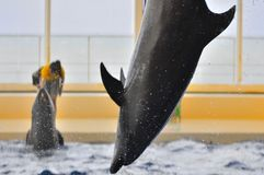 Dolphin show in Oarai Aqua World Mito Japan. This picture illustrate a dolphin jumping into the water Royalty Free Stock Photography