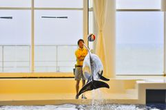 Dolphin show in Oarai Aqua World Mito Japan. This picture illustrate a dolphin playing jumping on air to hit a ball Stock Photography